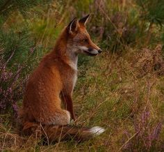 beautiful-wildlife:Foxbyjoeribeekhuizen