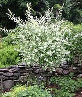 Nikishi Willow Tree pictures | Small and Dwarf Ornamental Trees for Northern and Midwest Gardens