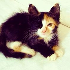'Chimera' cat. These rare cats are their own fraternal twin, as there were originally two fetuses before birth.