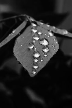 Monochrome Water Drop Leaf - A black and white macro shot of water droplets sitting on a leaf. Not altered.