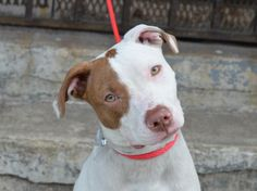 ~~ a 1 yr old puppy TO BE DESTROYED - 06/21/14 ~~ Brooklyn Center -P  My name is CALVIN. My Animal ID # is A1002699. I am a neutered male white and brown pit bull mix. The shelter thinks I am about 1 YEAR   I came in the shelter as a STRAY on 06/10/2014 from NY 11237, owner surrender reason stated was STRAY.