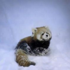 Baby red panda playing in the snow