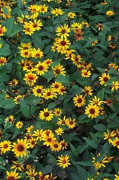 Heliopsis helianthoides 'Summer Nights' (Smooth oxeye) - Perennial - Zones 4-9, Height 3-4 ft. Deep golden yellow flowers with deep mahogony centers top dark red stems and red-tinged foliage. Simply stunning! Best utilized in the back of a border garden to accent lower growing, brightly colored perennials, as well as wildflower and cutting gardens.