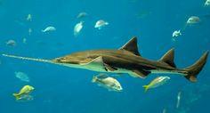 Objetivo: salvar a los peces sierra, al borde de la extinción
