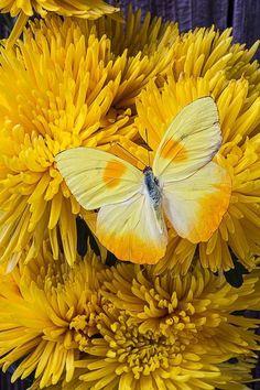 Borboleta Amarela No Mums amarelos