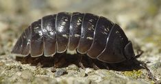 Study Finds 'Rollie Pollies' Remove Heavy Metals From Soil, Protects Groundwater | The Hearty Soul