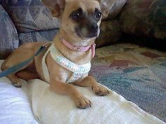 Easy Crochet Harness for small dogs.