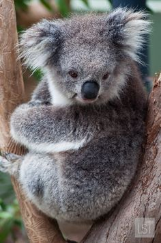 Koala at Healesville Sanctuary in the Yarra Valley.