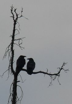 Raven Negative Space von Crow of the North – - Animal Tatoo Bird, Snake Tattoo, Black And White Birds, Black Tree, White Doves, Silhouette Tattoos, Bird Silhouette, Black Silhouette, Photoshop Design