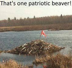 canada - that's one patriotic beaver! Canadian Memes, Canadian Things, I Am Canadian, Canadian Humour, Canada Funny, Canada 150, Canada Jokes, Ontario, Animals