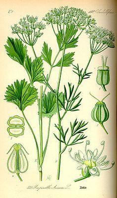 Anis  (Pimpinela anisum)