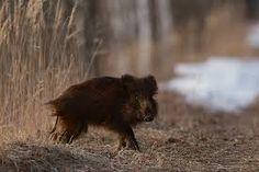 Mežacūkas.Menschen schießen diese Tiere  und sich finden sich tapfer. Aber, wie mutig ist jemand mit einer Waffe?