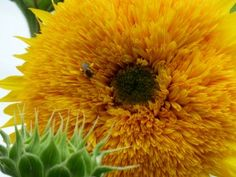 Fuzzy Sunflower American Meadows, Green Garden, Beautiful Flowers, Dandelion, Flora, Plants, Gardens, Dandelions, Outdoor Gardens