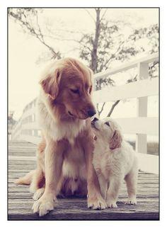 Golden Love #liebe #hunde