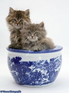 Maine Coons Kittens Blue China Pot