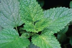 Herbs that Grow in the Shade: Lemon balm (Melissa officinalis, Zones Garden Inspiration, Plants, Herbs, Perennials, Growing Herbs, Herb Garden, Garden, Shade Plants, Shade Garden