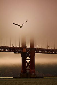 ~~Flying Into the Fog ~ Seagull, Golden Gate Bridge, San Francisco, California by Leasha Hooker~~