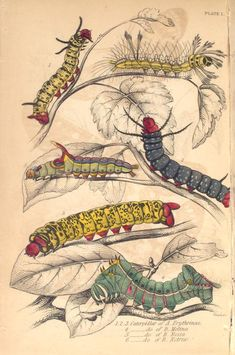 1.2.3. Caterpillar ... (Exotic Moths. By James Duncan) (1843). NYPL General Research Division.