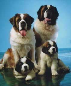 I would like a Saint Bernard dog they are so cute. I found more information about them at dog bread info center