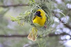 There are over one hundred species of weaver birds, known for their gorgeous nests of grasses  textiles.