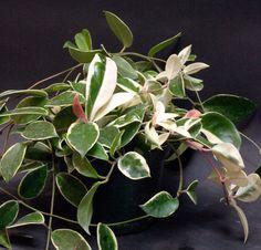 Hoya Carnosa Cv Tricolor 6 Inch Pots