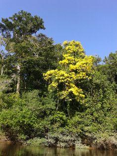 Groenhartboom in volle bloei