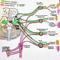 #autonomics #autonomicnervoussystem #autonomicanatomy #cranialnerves #anatomy #medschool #smartwork #knowlegdeispower