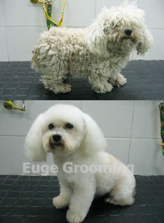 Before and after, yes is the same dog :) wonderful proof that under mats, there's beauty waiting to be revealed.