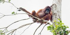 These heartbreaking photographs show the rescue of starving orangutans from their former home in a Borneo rainforest. Although strictly speaking, their forest lair was no longer a forest at all — the trees had been razed for a palm oil plantation. The orangutans had been eating bark to survive and were found hiding or clinging to a remaining tree as the last bulldozer approached.