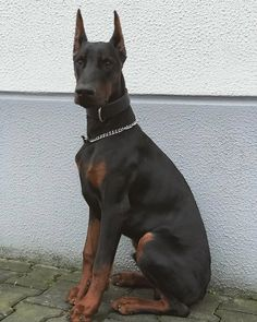 Dachshund Puppies, Pet Dogs, Dogs And Puppies, Dog Cat, Doggies, Weiner Dogs, European Doberman, Scary Dogs, Doberman Love