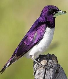Violet-backed starling (male)