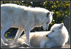Arctic Wolves - Canis lupus arctos, Artic wolves at the new Tundra Trek, Toronto Zoo, Ontario    via Flickr.