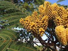 PLANTA TÓXICA  Dimorphandra mollis, faveira TOXIC PLANT)
