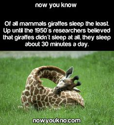 Wish I could be the same as a giraffe Source for more facts follow NowYouKno