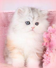 dilute calico persian | Chinchilla Calico Persian Kitten For Sale - Krissy - Dollface Persian ...