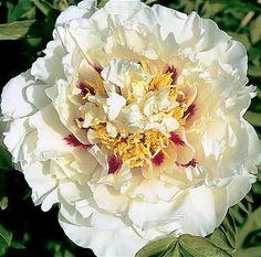 Tree Peonies 'Joseph Rock Double' Bloom time: Early. Plant zones: 4-8 Light Requirements: full sun/partial shade