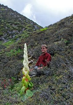 The beautiful and strange inflorescence of the Himalayan Noble Rhubarb: Rheum nobile. The actual flowers are all hidden under big whitish translucent bracts that genrate a glasshouse effect, protecting the flowers from wind, cold and UV light - a challenge in it's high altitude range - Photo by Daniel Winkler