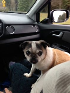 Suzy Q is a 10 year old pug/chihuahua mix who was surrendered by her owner to their vet.  Her foster home reports she is extremely sweet and quite content to be doted on and carried around.  She does have cataracts in both eyes, but it does not keep...