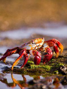 Sally Lightfoot Crabs, Puerto Egas, Galapagos Islands National Park, Ecuador  by Stuart Westmoreland Equador, Galapagos Islands, Ocean Creatures, Aquarium, Underwater World, Flore, Marine Life, Habitats, Fauna