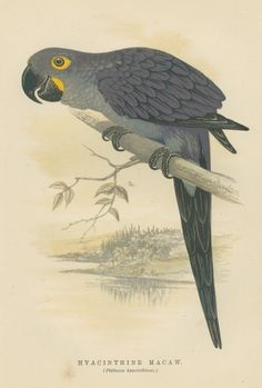 Hyacinthine Macaw, Antique Parrot Print
