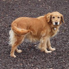 This is Trixie - 6 yrs. She is a former breeder girl. She is spayed, current on vaccinations, potty trained, good with dogs, not cat tested, kids over age 10 yrs. Needs leash work. She flinches at quick movement & loud noises but recovers quickly. Delaware Valley Golden Retriever Rescue, PA. http://www.dvgrr.org/available-dogs/available-females/14-006-trixie-11