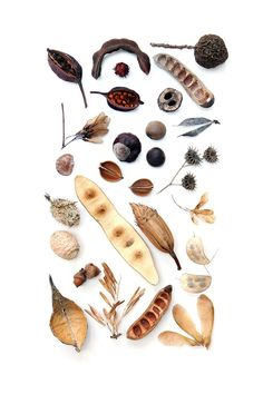 seedpods, nuts, and seeds (mary jo hoffman)