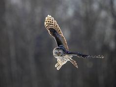 Ural Owl (by Sven Zacek)