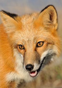 Red Fox jigsaw puzzle in Animals puzzles on TheJigsawPuzzles.com