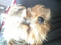 Graham #yorkiepoo #dogs #cute