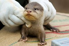STOP IT!!  The first otters born in nearly 20 years at the Perth Zoo have made their public debut.