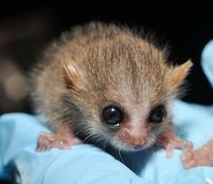 Mouse-lemur-baby.jpg (1280×1105)