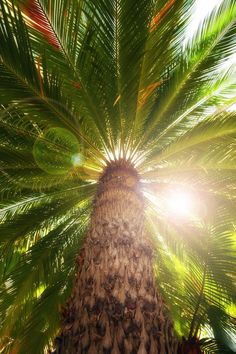 mistymorningme:Palm Tree in Summer by Douglas Brown Tropical Vibes, Tropical Paradise, Tropical Style, Palmiers, Paradise Island, Land Scape, Palm Trees, Palm Tree Pics, Summertime