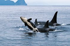 Increasing sea noise has the National Oceanic and Atmospheric Administration concerned about its effects on aquatic species. Orcas, Animals Beautiful, Cute Animals, Ocean Sounds, Ocean Creatures, Mundo Animal, Killer Whales, Ocean Life, Marine Life