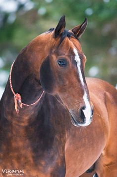 Akhal-Teke. These horses are bred in Turkey and only around 3,500 are known to be left. Known for their incredible speed and shiny, metallic coats.